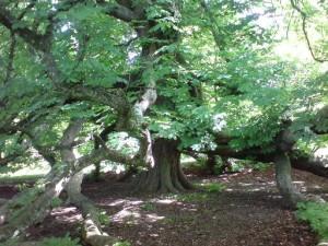 Glamis Tree