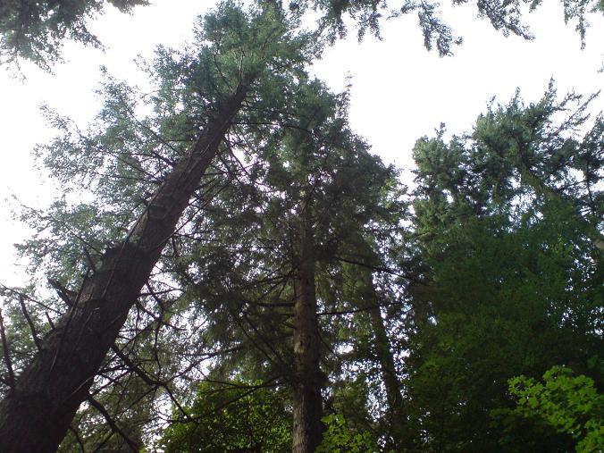 Giant Douglas Firs - Lake Vyrnwy