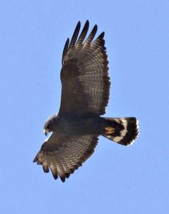 Zone-tailed-Hawk-0006