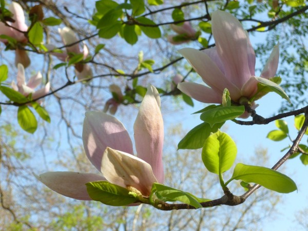 how to grow magnolia tree from graft