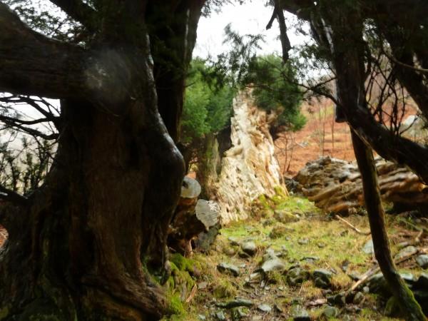 Borrowdale Yews - Spring Equinox 2014 (12) (Large)