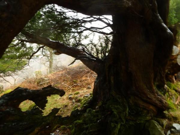 Borrowdale Yews - Spring Equinox 2014 (7) (Large)