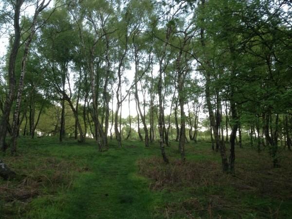 Approaching Nine Ladies circle through birch trees at dusk