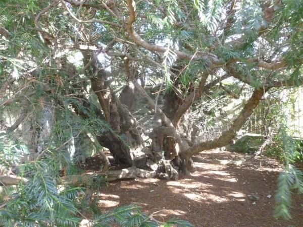 Fortingall Yew - Sept 14 (7) (Medium)