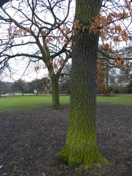 Two young oaks on Primrose Hill