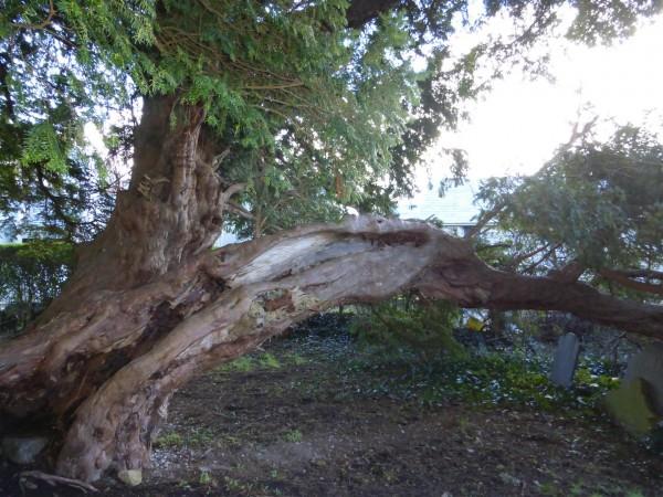 Llangernyw Yew tree - Feb 15 (11)