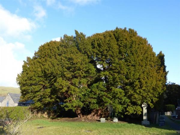 Llangernyw Yew tree - Feb 15 (4)