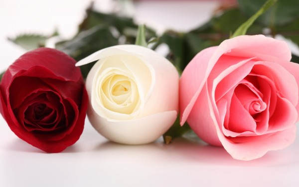 Red-White-and-Pink-Rose-HD-Wallpaper
