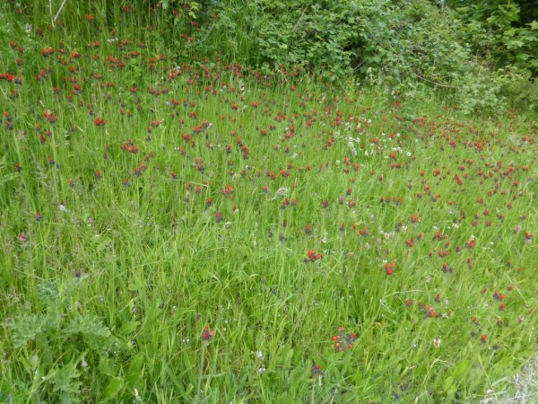 Llangernyw Yew - June 15 (1)