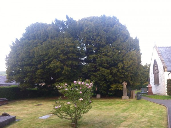 Wise Ancient Yew