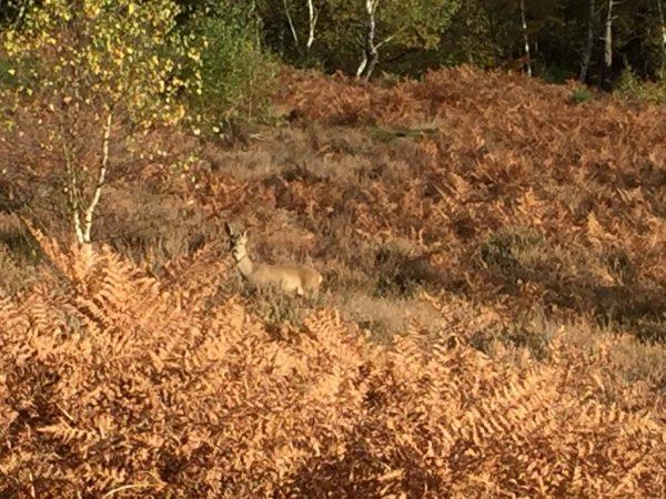 m25-deer-sighting-nov-16-6