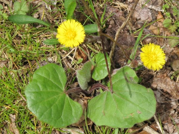 coltsfoot_for_coughs